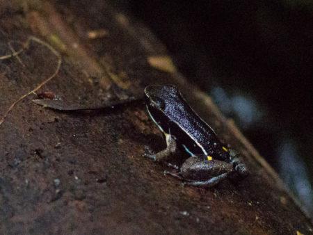 Brilliant-Thighed Poison Frog (Allobates femoralis)