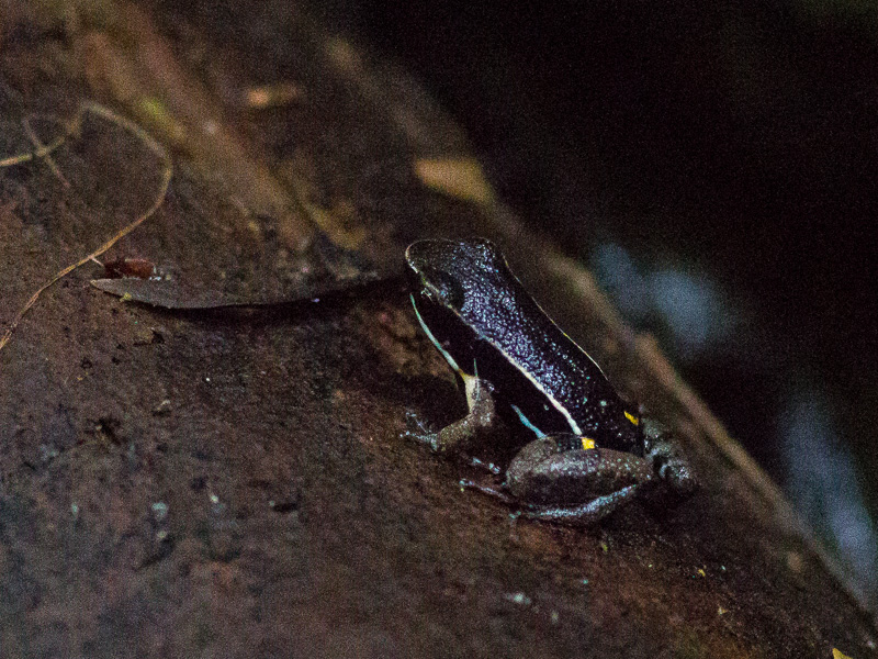Brilliant-Thighed Poison Frog