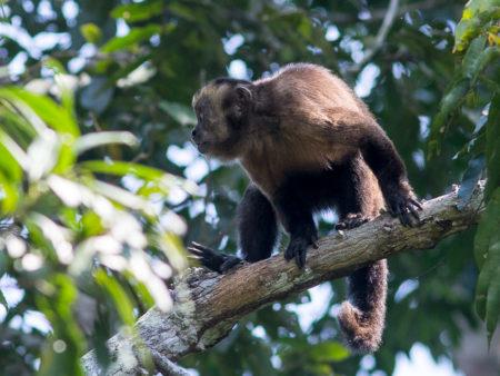 Brown Capuchin (Cebus apella)