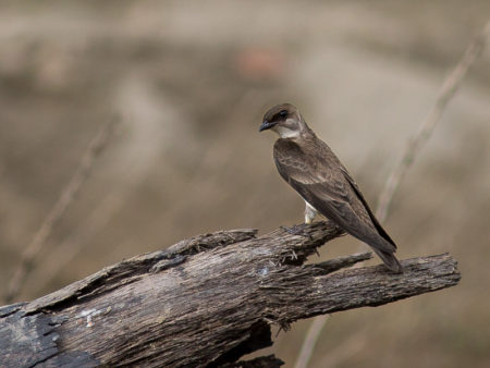 Brown-chested Martin (Progne tapera)