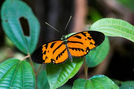 Butterfly in Manu