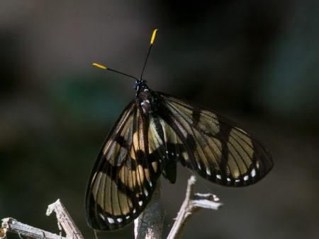 Manu Butterfly sp