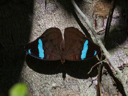 Manu butterfly