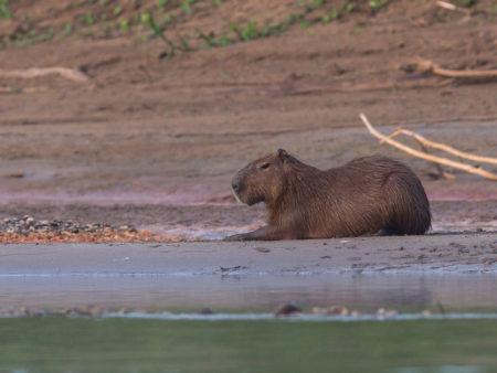 Capybara Adult (Hydrochoerus hydrochaeris)