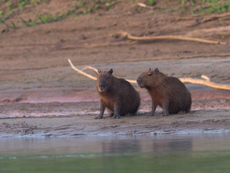 Young Capybaras (Hydrochoerus hydrochaeris)