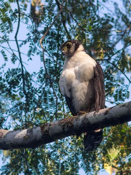 Collared Forest-Falcon (Micrastur semitorquatus)