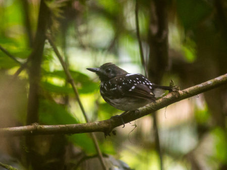 Dot-backed Antbird (Hylophylax naevius)
