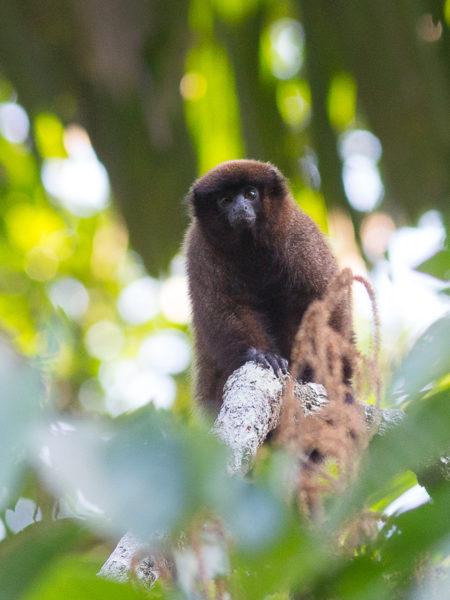 Dusky Titi Monkey (Callicebus moloch)