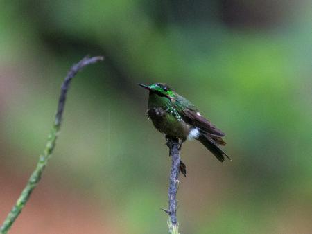 Festive Coquette (Lophornis chalybeus)