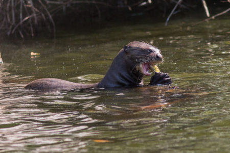 Giant Otter with Fish (Pteronura brasiliensis)