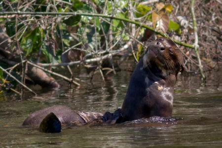 Giant Otter Scratching (Pteronura brasiliensis)