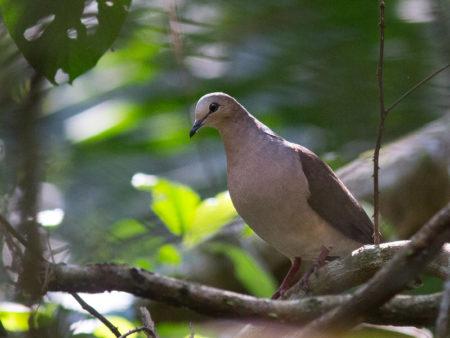 Gray-fronted Dove (Leptotila rufaxilla)