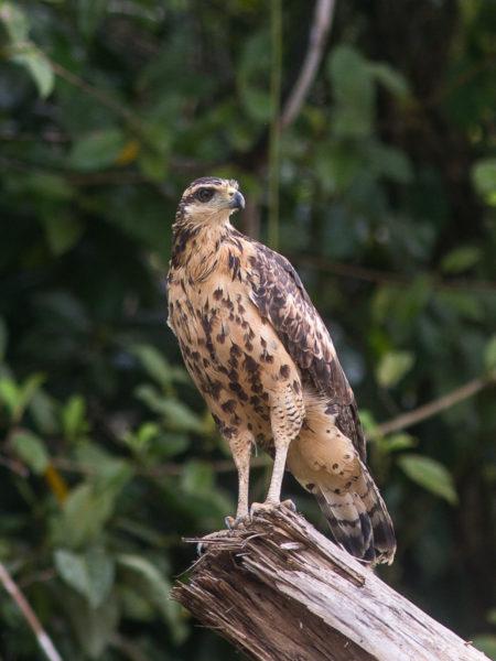 Immature Great Black Hawk (Buteogallus urubitinga)