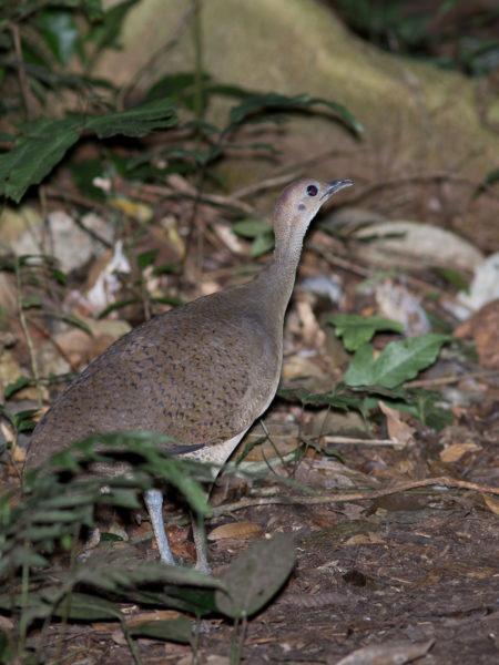 Great Tinamou (Tinamus major)