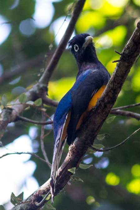 Green-backed Trogon (Trogon viridis)