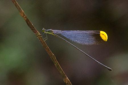 Helicopter Damselfly (Pseudostigmatidae sp)