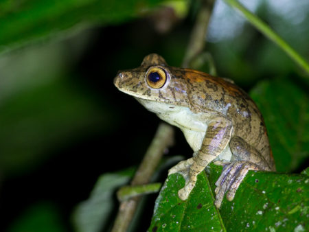 Rusty Treefrog (Hypsiboas boans)