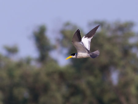 Large-billed Tern (Phaetusa simplex)