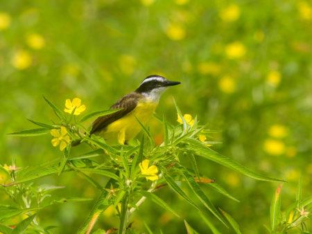 Lesser Kiskadee (Pitangus lictor)