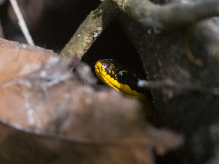 Royal Ground Snake (Liophis reginae)