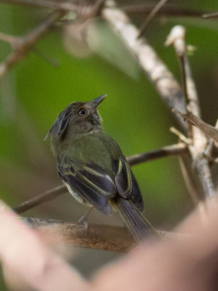 Long-crested Pygmy-Tyrant (Lophotriccus eulophotes)