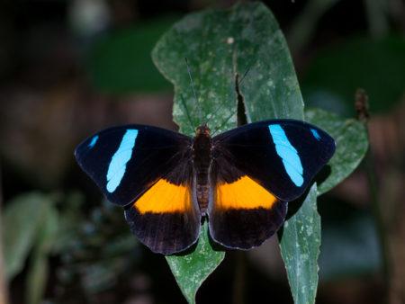 Obrina Olivewing (Nessaea obrinus)
