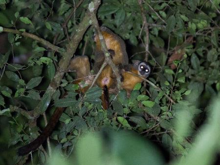 Black-headed Night Monkey (Aotus nigriceps)