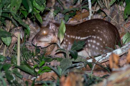 Lowland Paca (Cuniculus paca)
