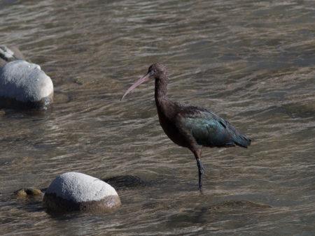 Puna Ibis (Plegadis ridgwayi)