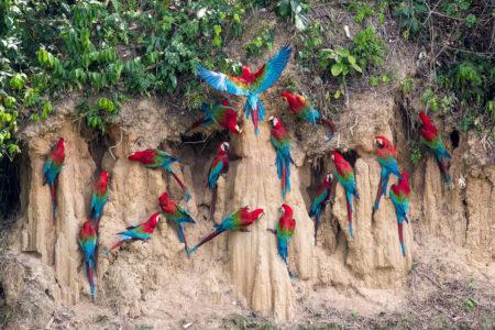 Red-and-Green Macaws at a Clay Lick (Ara chloropterus)