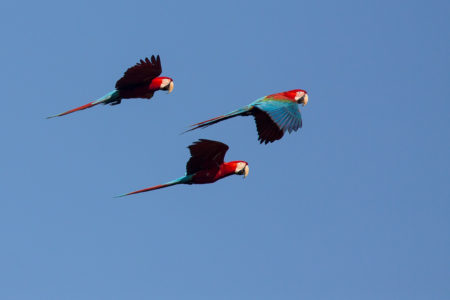 Red-and Green Macaws Flying (Ara chloropterus)