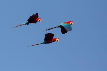 Red-and Green Macaws Flying (Ara chloropterus)