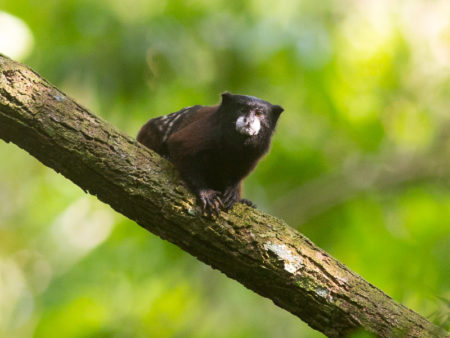 Saddle-backed Tamarin (Saguinus fuscicollis)