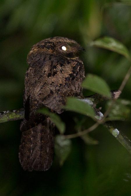 Silky-tailed Nightjar (Antrostomus sericocaudatus mengeli)
