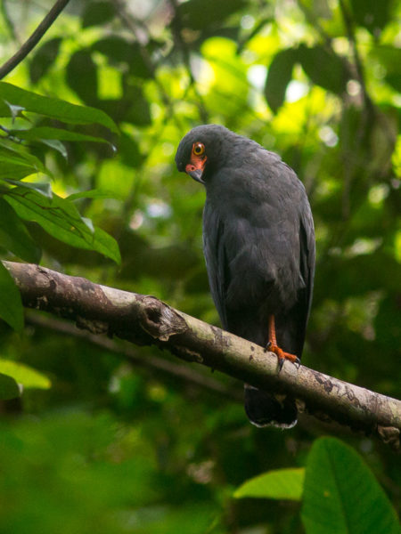 Slate-colored Hawk (Buteogallus schistaceus)