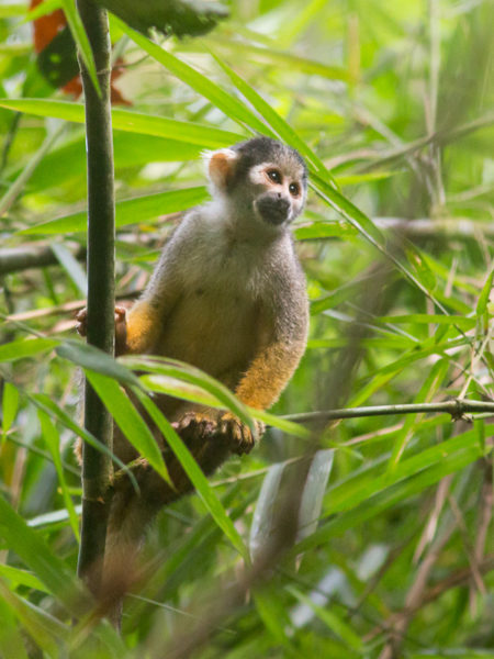 Squirrel Monkey (Saimiri sp)