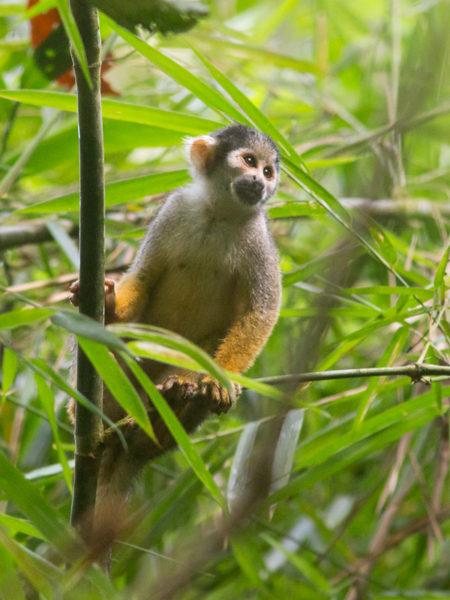 Squirrel Monkey (Saimiri sp)