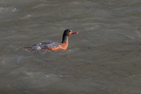 Torrent Duck Female (Merganetta armata)