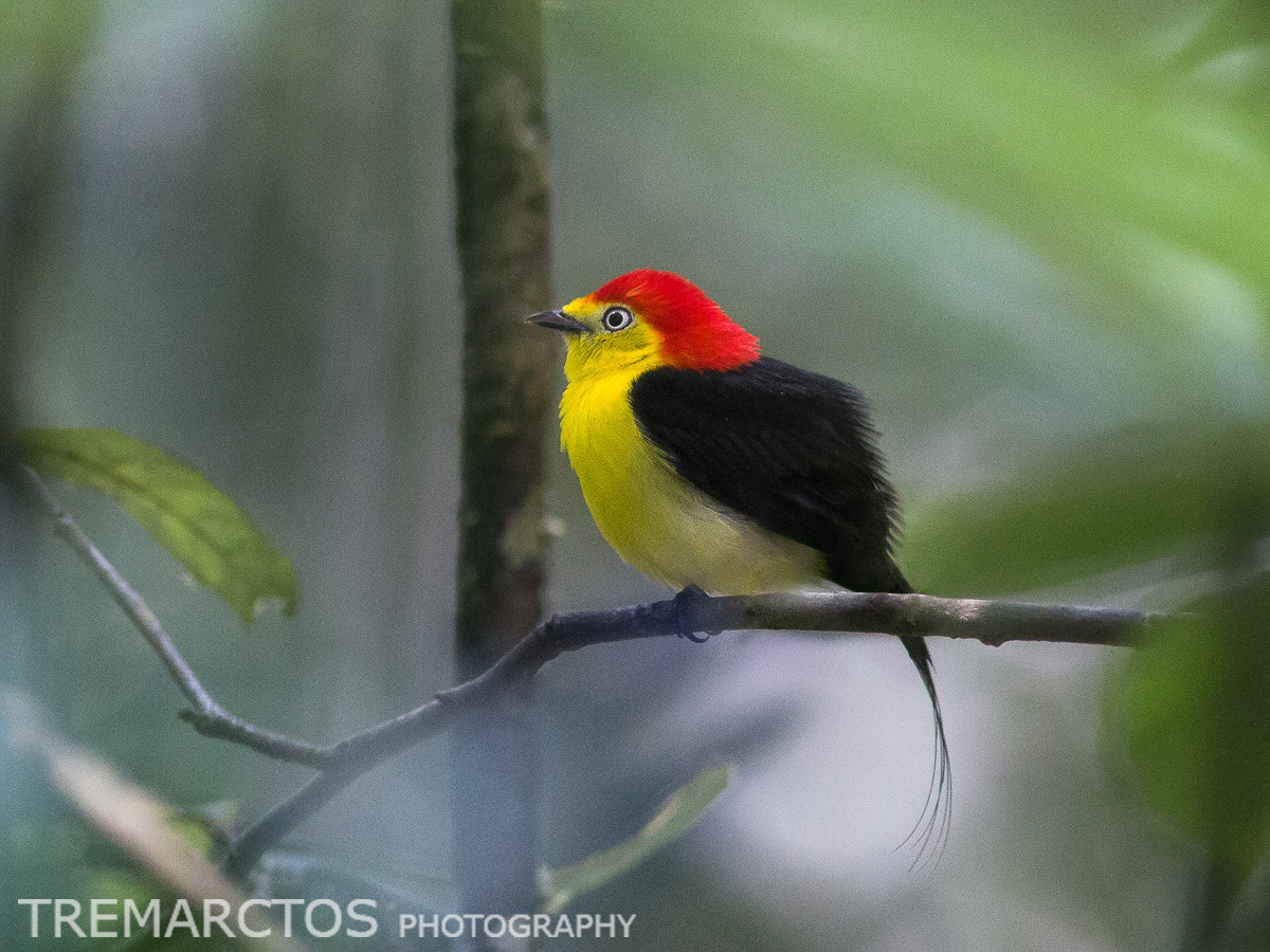Wire-tailed Manakin
