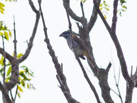 Yellow-shouldered Grosbeak (Parkerthraustes humeralis)
