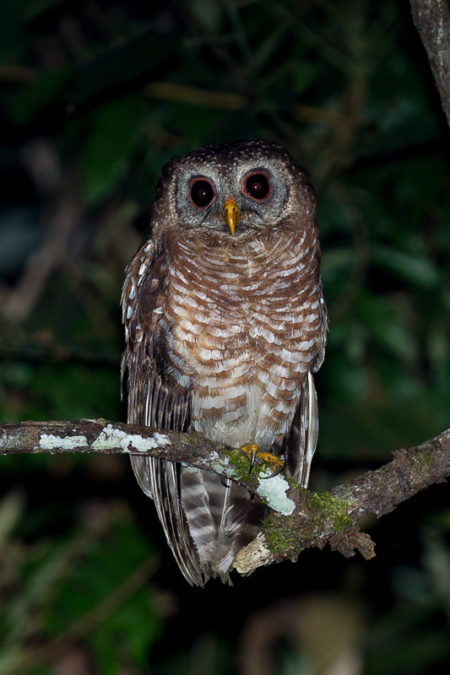 African Wood Owl (Strix woodfordii)