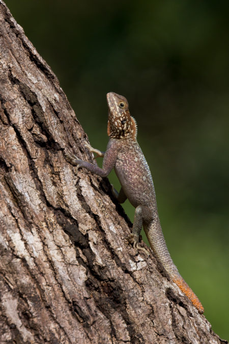 Female Red-headed Agama (Agama agama)
