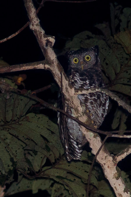 Akun Eagle-owl (Bubo leucostictus)