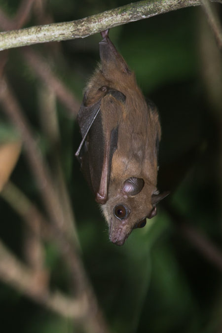 Sierra Leone Collared Fruit Bat (Myonycteris leptodon)