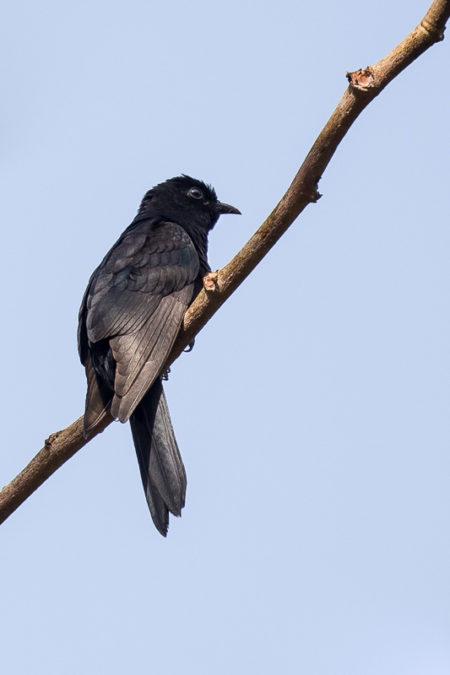 Black Cuckoo (Cuculus clamosus)