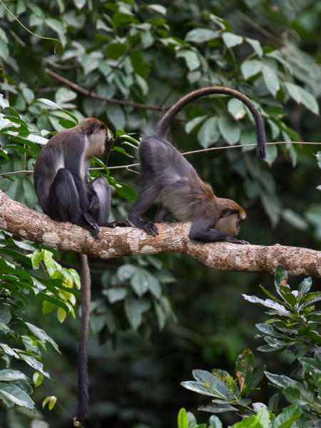 Campbell's Monkey (Cercopithecus campbelli)