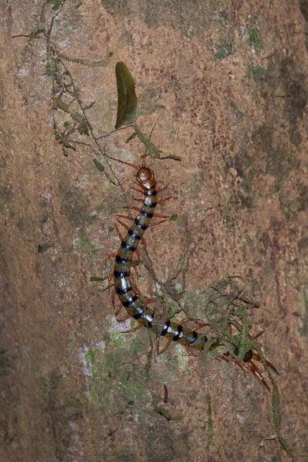 Unidentified Centipede (Scolopendridae sp)