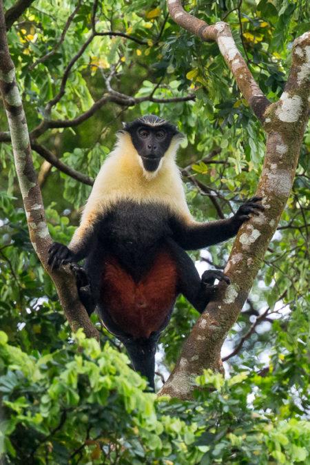 Diana Monkey (Cercopithecus diana)