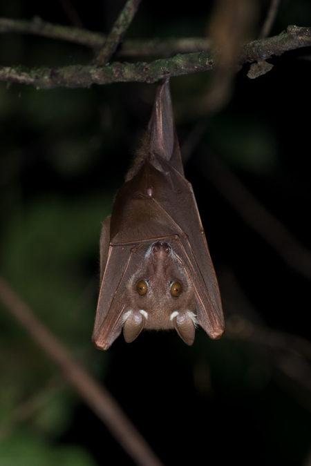 Büttikofer's Epauletted Bat (Epomops buettikoferi)
