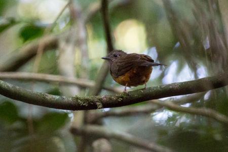 Finsch's Flycatcher-thrush (Neocossyphus finschi)
